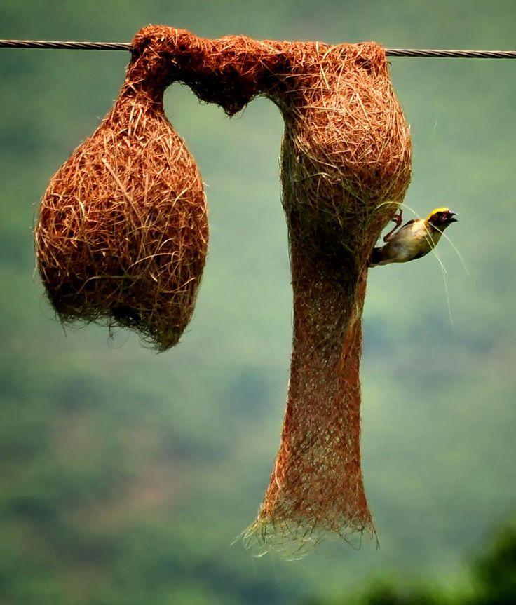 Os Pássaros Tecelões costumam construir seus elegantes ninhos em palmeiras e acácias espinhosas, onde os predadores tenham mais dificuldade em alcançá-los. É função dos machos tecelões escolher onde será o ninho.