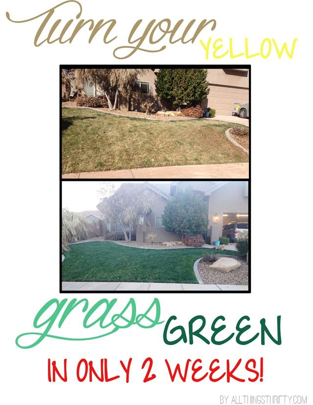 how to turn your yellow winter grass green for spring!