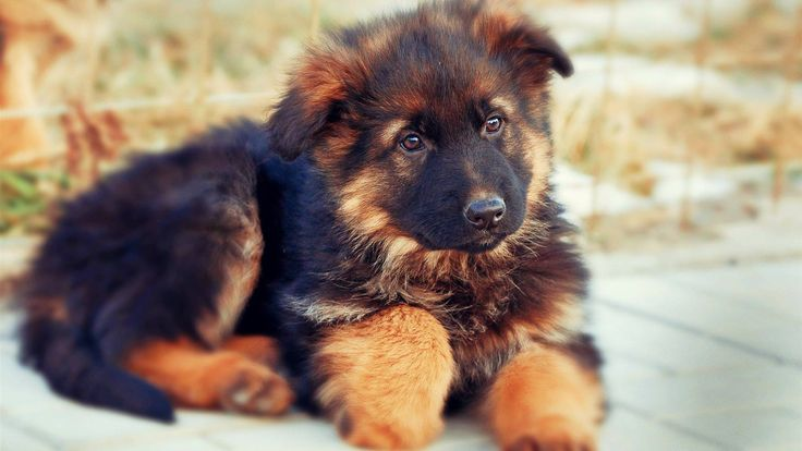 20 German Shepherd Puppies That You'll Want to Take Home Immediately