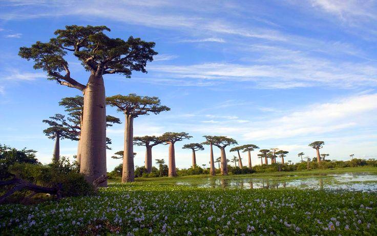 Baobab_Tree_3_by_cgh30217.jpg (900×563)