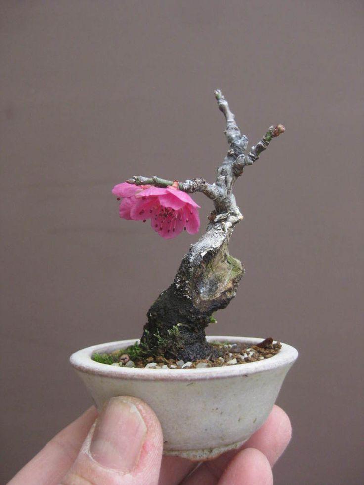 盆栽:ヒメリンゴを植え替え の画像 春嘉の盆栽工房