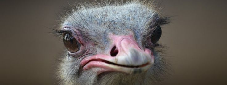Granjas de avestruces » AVESTRUZPEDIA