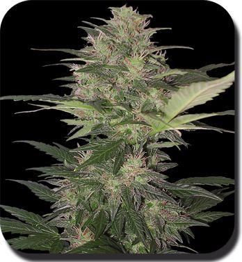 Red Dwarf Regular Cannabis Seeds