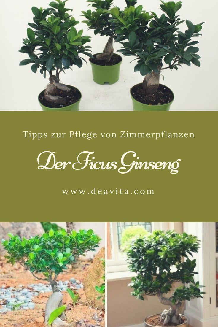 Die 25+ Besten Ideen Zu Ficus Ginseng Auf Pinterest | Plante Ficus ... Ficus Ginseng Bonsai Einpflanzen Tipps