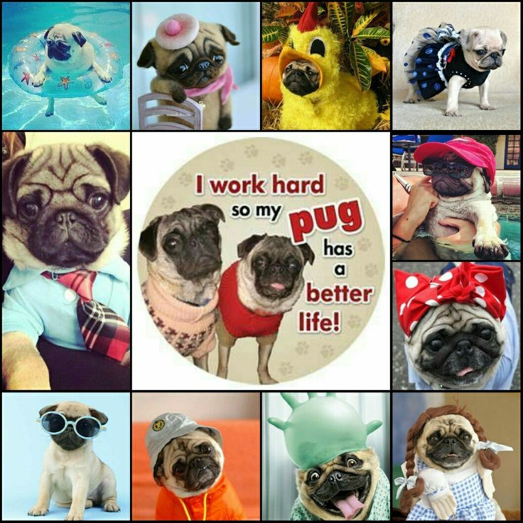 I work hard so my pug has a better life