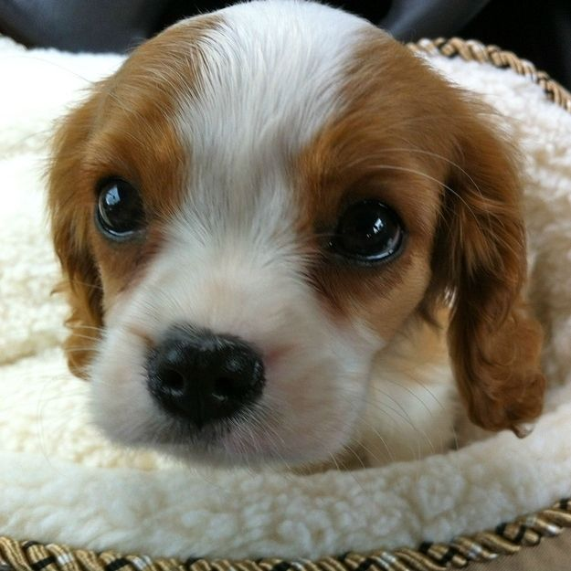 Cavalier King Charles Spaniel Puppies Are The Cutest Puppies To Ever -Look at that sweet face.