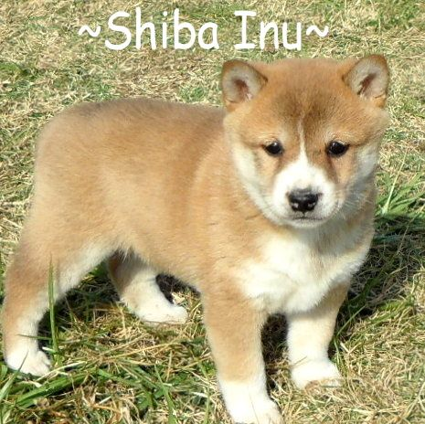 Litter Of 7 Shiba Inu Puppies For Sale In Foyil Ok Adn 70049 On