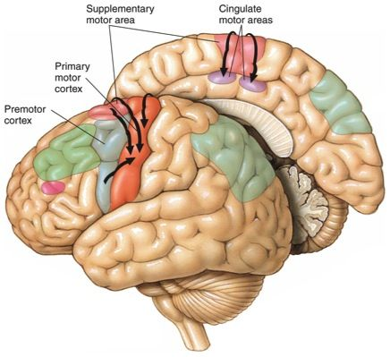 secondary motor cortex