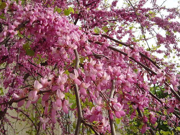Κερκίς ή Κουτσουπιά Φτάνει το ύψος των 3-4 m.. Στην αρχή της άνοιξης (Μάρτιο με Απρίλιο), βγάζει ροζ εντυπωσιακά άνθη επάνω στους γυμνούς κλάδους και η αντίθεση αυτή την καθιστά πολύ ιδιαίτερο φυτό. Η ανθοφορία κρατάει 30-35 ημέρες. Αναπτύσσεται σε όλα τα εδάφη αλλά προτιμά τα ηλιαζόμενα και καλά αποστραγγιζόμενα. Αντέχει τη ρύπανση της πόλης και τις χαμηλές θερμοκρασίες (-25 oC). Φυτεύεται είτε μεμονωμένο είτε σε συστάδες.  Καλλωπιστικοί θάμνοι - Φυταγορά Σερρών