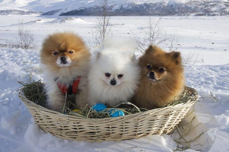 Pomeranians in a bundle! So cute!