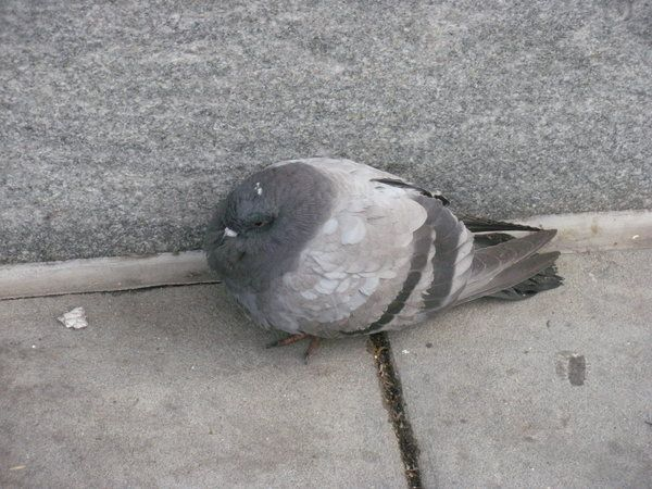 Each morning, for about four months now, I am woken by the same foul, fat pigeon. I am certain that he's the same one, even though I have no means to prove it. In truth, I have no way to be sure he…