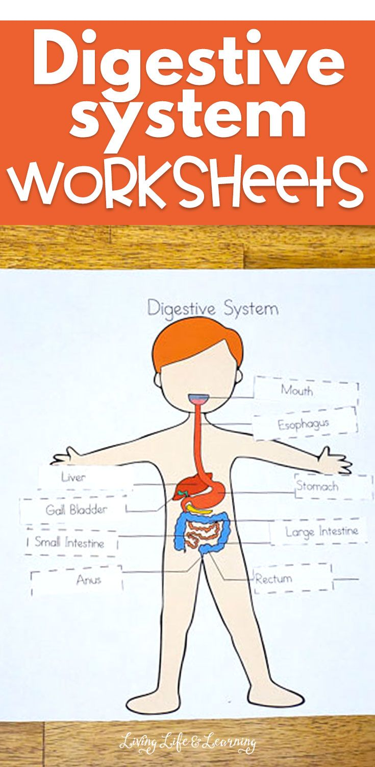 Digestive System Worksheets For Kids Digestive System Worksheet Digestive System For Kids Digestive System Activities