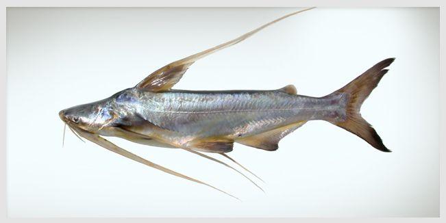 Noticia de California Los océanos están tan repletos de poblaciones de peces silvestres y tan contaminados de residuos industriales que es difícil averiguar qué peces son seguros de consumir.