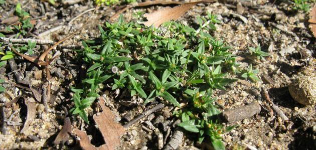 فوائد عشبة الفوة Herbs How To Dry Basil Plants