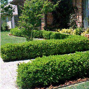 boxwood shrubs | Yardmasters, Inc. Plants