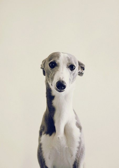 CUTE!: Doggie, Animals, Dogs, Greyhound, Puppy, Things, Whippets, Italian Greyhounds