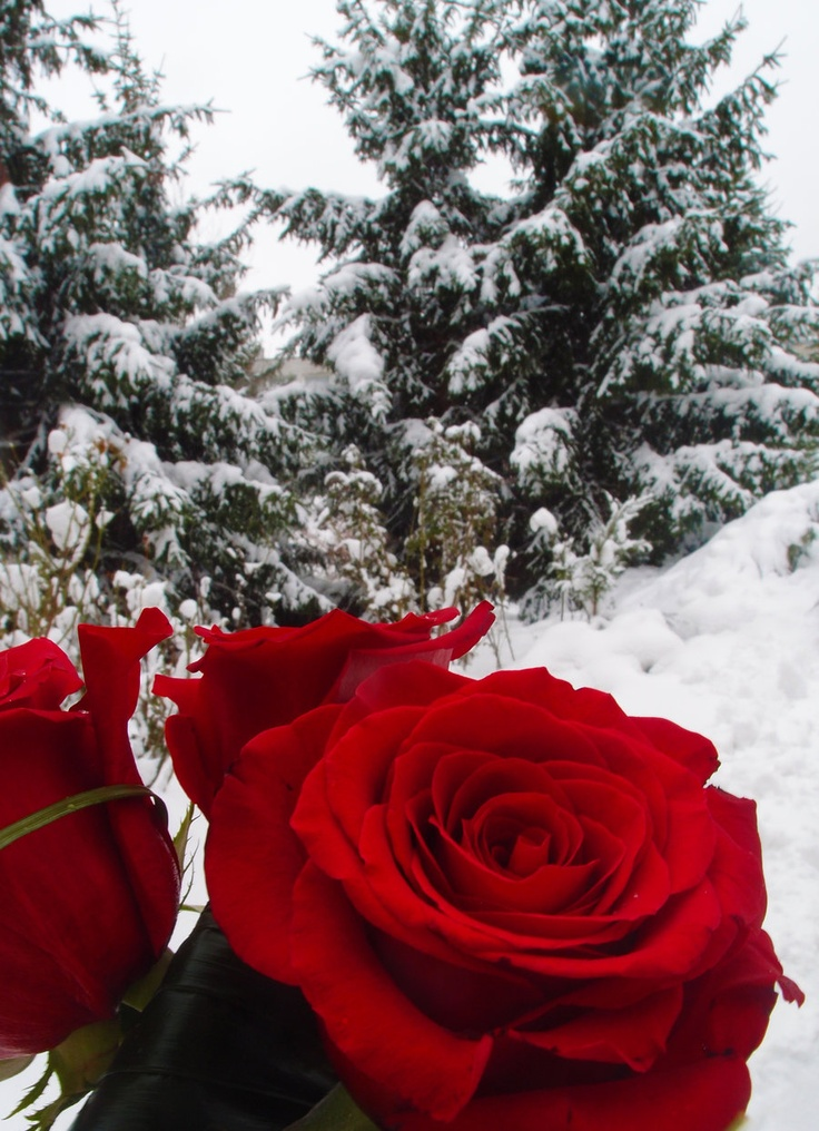 Пожеланием, гифка роза на снегу