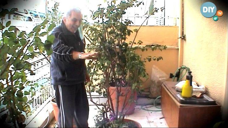 Τριανταφυλλιά triantafyllia @ www.diytv.gr - YouTube