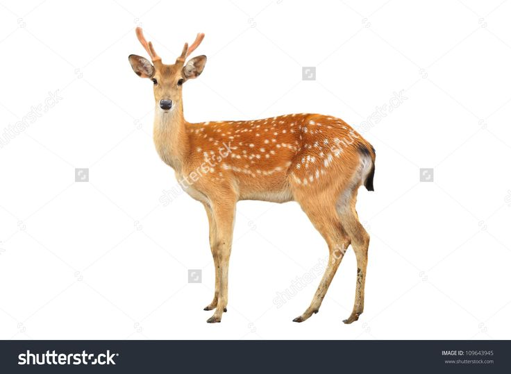 sika deer isolated on white background