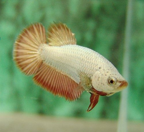 16 best images about female betta fish on pinterest lady for Pictures of female betta fish