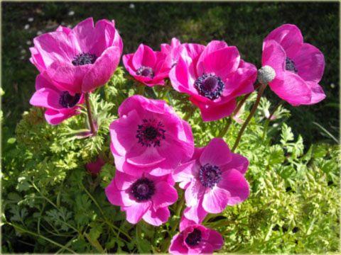 Zawilec wieńcowy Sylphide różowy Anemone coronaria Sylphide