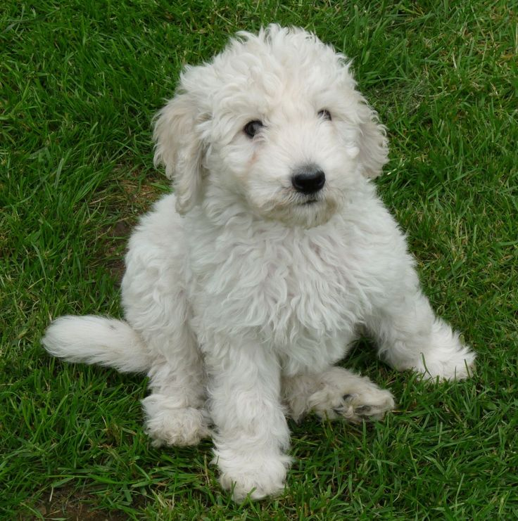 Goldendoodle Dogs For Sale