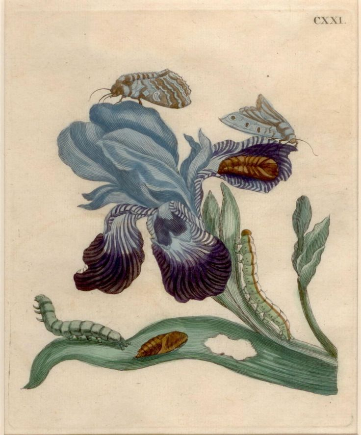 Maria Sibylla Merian (1647-1717), born Frankfurt, Germany. From an early age, Maria had a fascination with plants and insects. She was encouraged to take up drawing, for which she showed great promise. Her exploration of the lifecycle of caterpillars, their transformation into butterflies and the plants they used to feed themselves became the basis for her first two books.