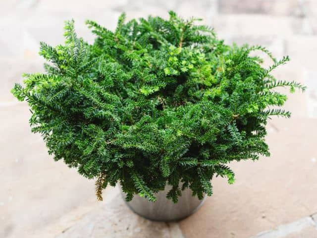 The Japanese Yew is an adorable, furry little plant that can last you all year long. It's not only able to withstand colder weather, but it is also drought tolerant which is perfect for areas that get very hot, too. The plant itself is absolutely adorable and makes for a good porch plant or even windowsill potted plant. The furriness of its leaves makes this adorable little plant extra lovable and a popular addition to many homes.