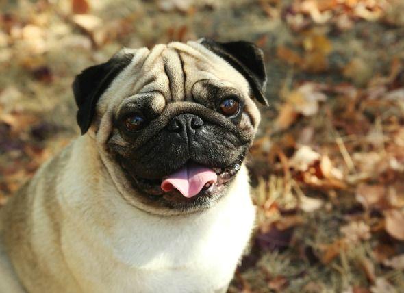 Megaesophagus - Enlargement of Esophagus in Dogs | petMD (Symptoms: aspiration pneumonia, gagging cough, nasal discharge, etc)