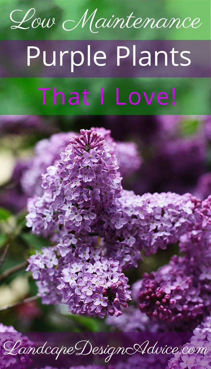 A garden design that includes purple perennial plants can create one of the most striking landscapes. Perennials come in many shades of purple, but I also use various types of Lilacs (as shown here). 'Miss Kim' is a smaller one while 'Bloomerang' is a rep