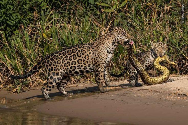 Jaguar Cubs Cute Animals Wildlife Photography Animals Wildlife