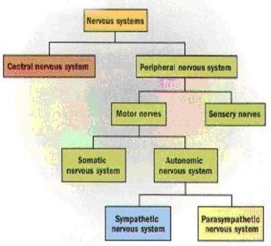 7 best anatomy physiology nervous system images on pinterest autonomic nervous system chart external image peripheralnervoussystemchartg ccuart Gallery
