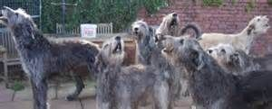 Irish Wolfhound Puppies For Sale, Wolfhound Puppies For Sale, Find ...