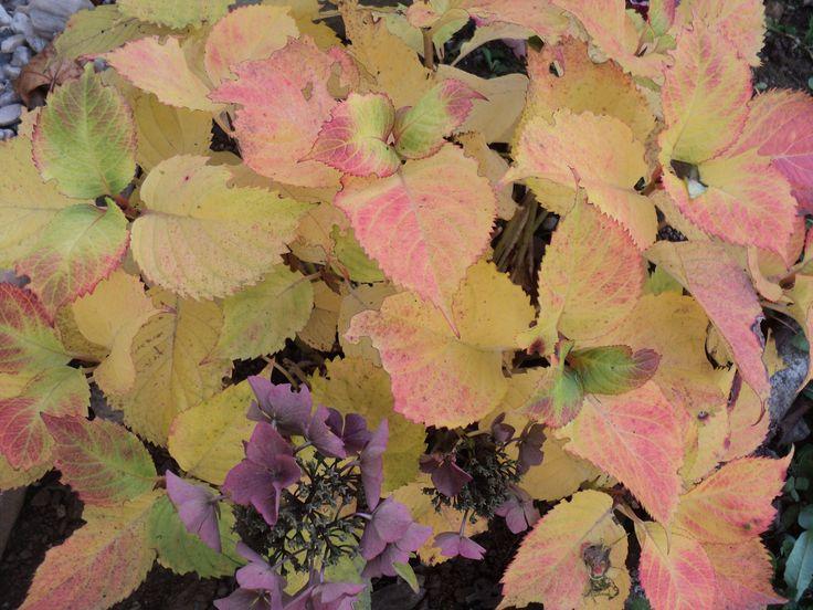 Podzimně vybarvená hortenzie - říjen 2016