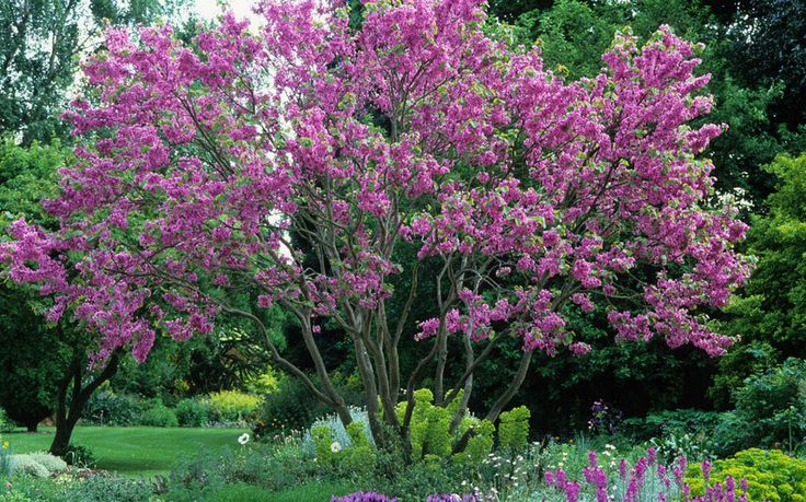 The 20 best trees for your garden all year round - The Judas tree (Cercis siliquastrum) produces pink pea-flowers that sprout straight from the branches and trunk, before the heart-shaped leaves appear. These are followed by red pods.Telegraph