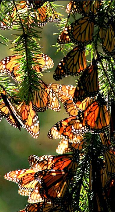 Monarch Butterflies resting during their 5,000 kilometer  migration from Mexico to Canada.