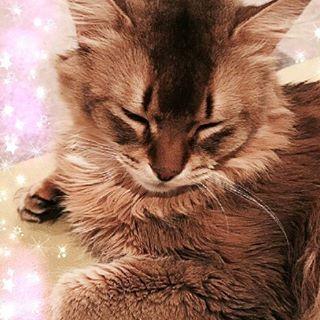 おやすマロ🙀💤 #シド #マオ #愛猫 #マロくん #ソマリ #ねこ #にゃんスタグラム