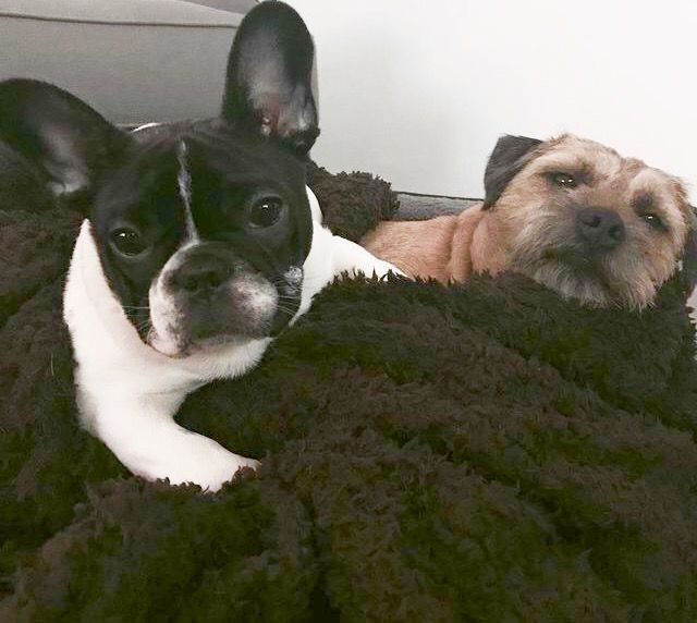 """""""When your sleepover is OVER, but your friend doesn't know it"""", funny French Bulldog ❤"""