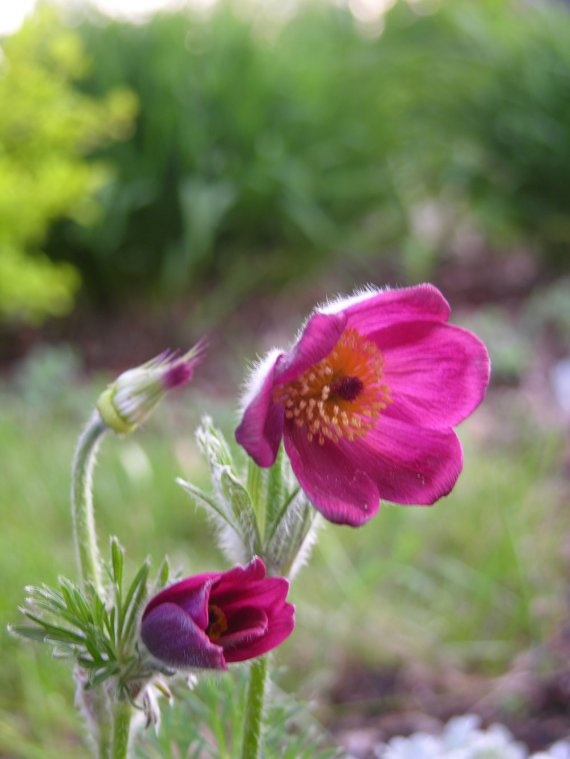 The pasque flower is much later this year.