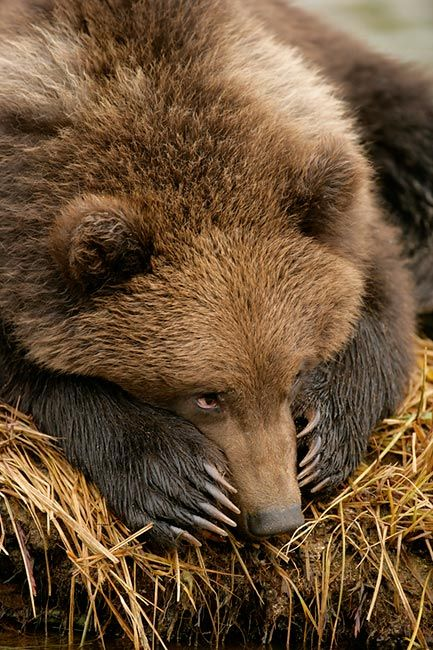 """Bear.           ••••(KO)  This little bear is no doubt thinking up badness. """"Badness"""" is in his blood. His dad and all his uncles were bad. He has to live up to their legacy. But first, a nap. Definitely a nap."""