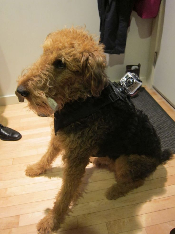 GoPro Hero harness for your dog. awww yeh love it. Step-by-step instructions to DIY, then see the world thru Pearl and JoJo's point-of-view.