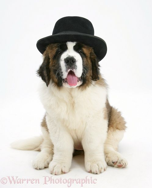 Dog: Saint Bernard puppy wearing a gangster hat photo