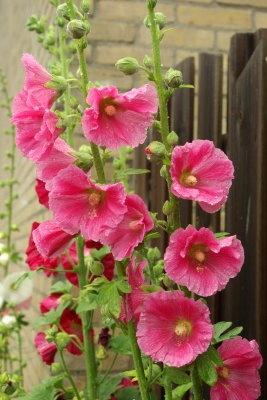 Alcea rosea - Stokroos (Stokrozen zijn 2-jarige planten en kunnen tussen de 2 tot 3 meter hoog worden. Stokrozen staan graag op een zonnige en beschutte plek en op zeer voedzame grond. De planten zijn in verschillende kleuren te verkrijgen. Plantgroep: 2-jarigen. Bloeikleur: Roze o.a. Standplaats: Zon. Familie: Kaasjeskruidfamilie. Bladkleur: Groen. Bloeitijd: juli - augustus. Wintergroen: nee. Planthoogte: 160 cm - 200 cm. Grondsoort: Goede tuingrond. Niet te nat. Plantafstand: 7 - 9…