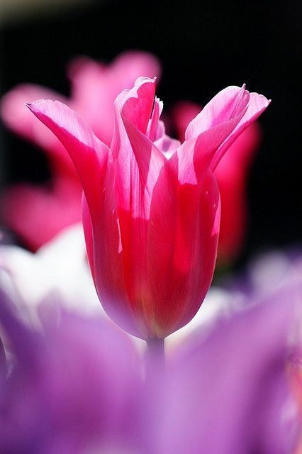 how to prepare tulip bulbs for planting