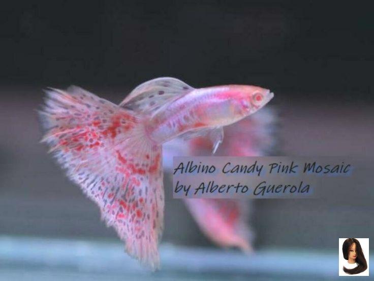 Albino Berlin Blue Candy Guppys Japan Mosaic Pink Red Tiergarten Albino Candy Pink Mosaic Japan Blue Red Guppys In Berlin Guppy Fish Fish Fish Tank