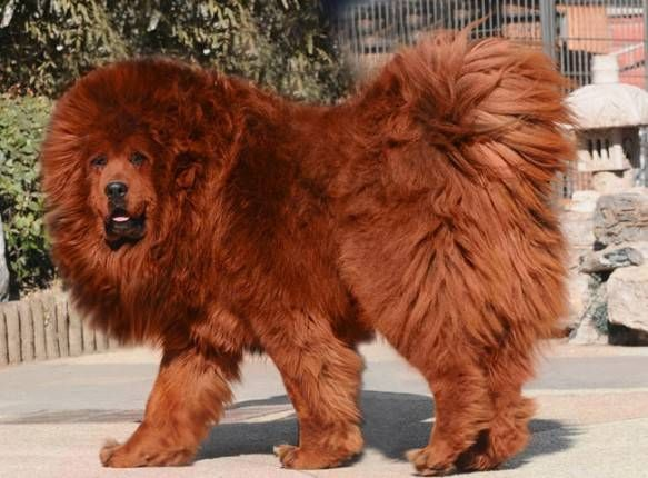 The Tibetan Mastiff is one of the most costly dogs.  price runs to about $582,000. it is one of the largest dog breeds worldwide standing more than 32 inches tall, with a weight of over 150 lbs. These dogs come in colors, including black, brown, red and gray. Pure white Tibetan Mastiffs are extremely rare. Are known for not having the same unpleasant odor of many dogs. Respected  guardians of farm, extremely protective, some having killed tigers before to safeguard their flock.