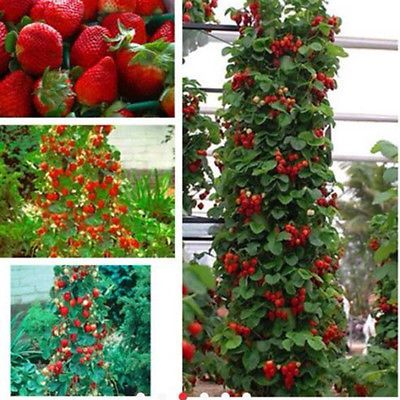 100pcs-Red-Strawberry-Climbing-Strawberry-Sweet-Fruit-Plant-Seeds-Home-Garden