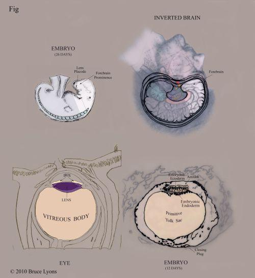 Aqui se vê a similaridade Morfológica entre a Cabeça invertida - o Feto de 12 dias - o Olho - e o Feto de 26 dias -   ... https://brucelyonsblog.wordpress.com/2010/04/22/squaring-the-circle-an-ancient-legacyp10/