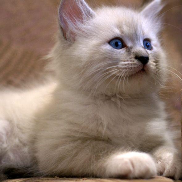 Siberian Kittens [redux]  kitten