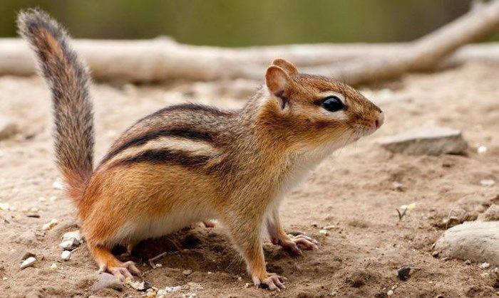 http://www.mascotasblogueras.com/curiosidades/la-ardilla-listada-como-mascota